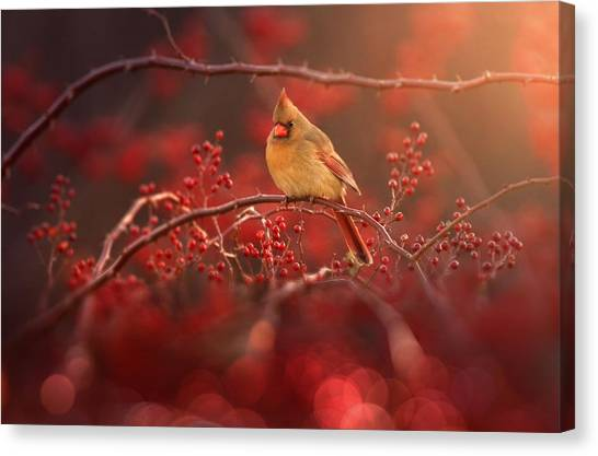 Cardinals Canvas Print - Simple Beauty by Rob Blair