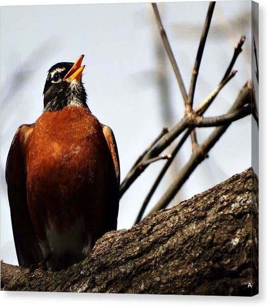 Songbirds Canvas Print - #simplelife4me #spring #singingbird by Angela Ness
