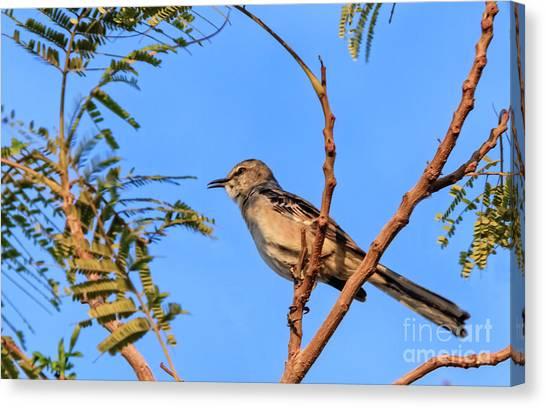 Mockingbirds Canvas Print - Singing Mockingbird by Robert Bales