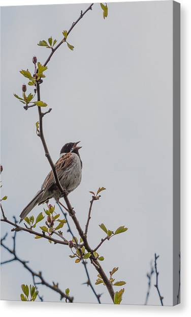 Bunting Canvas Print - Reed Bunting by Chris Dale