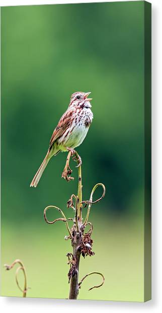 Singing Song Sparrow Canvas Print