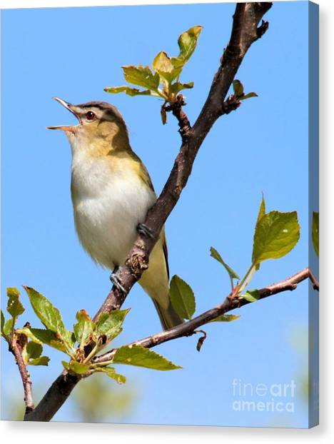 Singing Red-eyed Vireo Canvas Print