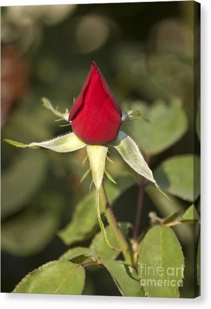 Single Bright Red Rose Bud Canvas Print by Mark Hendrickson