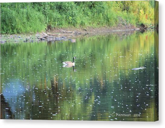 Single Canadian Goose Canvas Print by Carolyn Postelwait