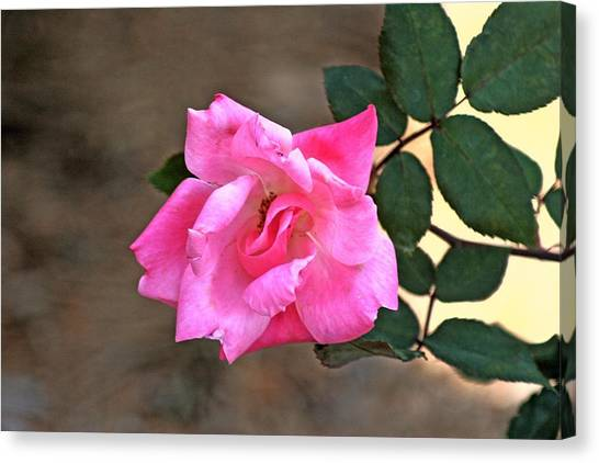 Single Red Rose Canvas Print by Francesco Roncone