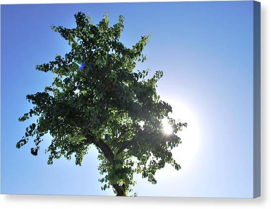 Single Tree - Sun And Blue Sky Canvas Print