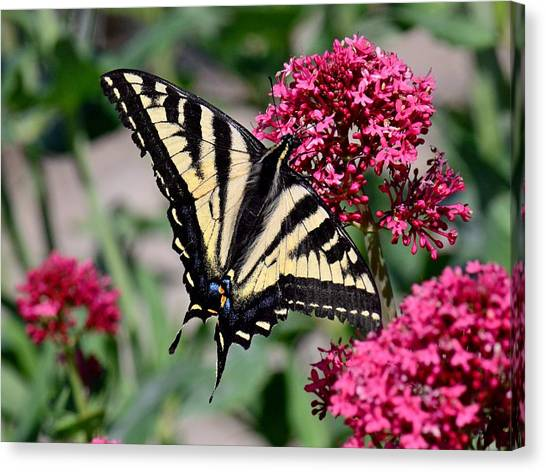Sippin On Nectar - Swallowtail Canvas Print