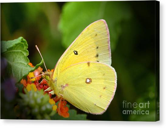 Sipping Nectar Canvas Print by Jeannie Burleson