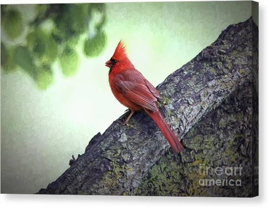 Sir Cardinal Canvas Print