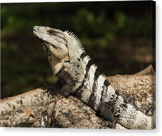 Sir Iguana Mexican Art By Kaylyn Franks Canvas Print