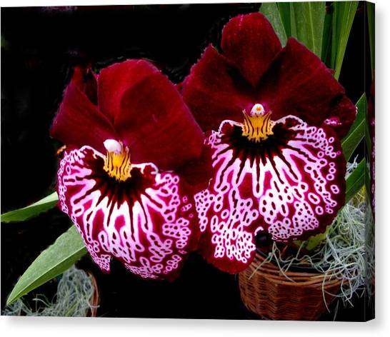 Sister Orchids Canvas Print by Jeanette Oberholtzer