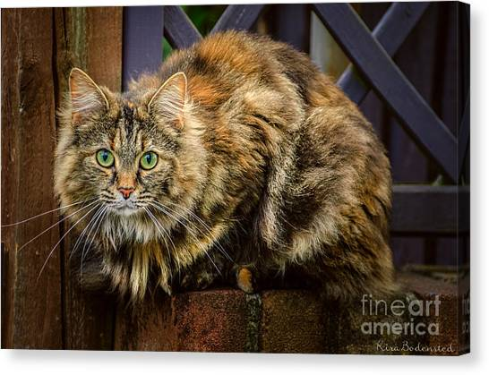 Main Coons Canvas Print - Sitting Pretty by Kira Bodensted