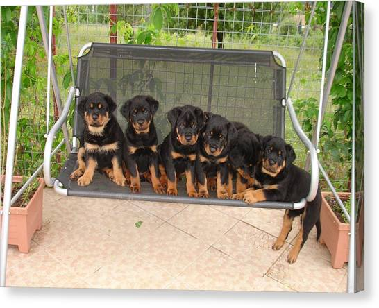 Six Rottweiler Puppies Lined Up On A Swing Canvas Print