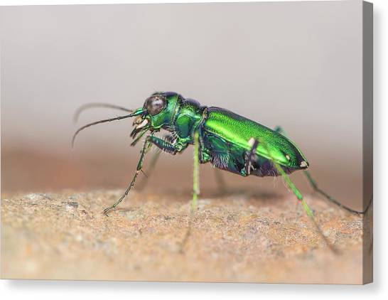 Six-spotted Tiger Beetle Canvas Print by Derek Thornton