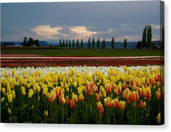 Canvas Print - Skagit Valley Tulip Farm by Sonja Anderson
