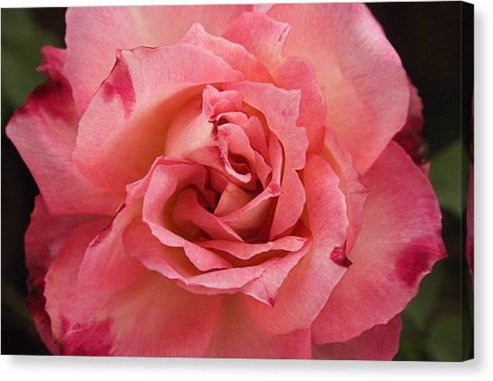 Skc 4942 Pink Harmony Canvas Print