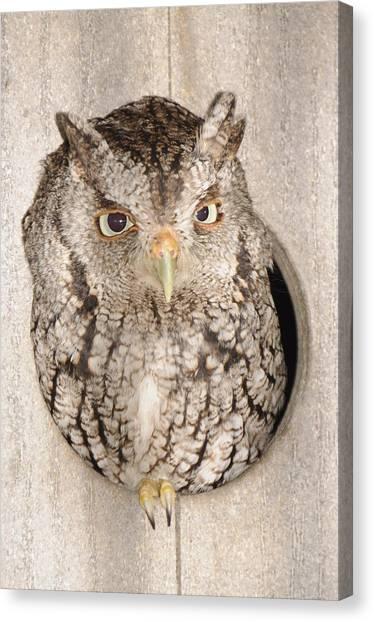 Skreech Owl Canvas Print