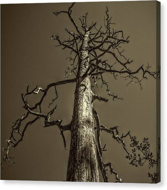 Skeletal Tree Sedona Arizona Canvas Print
