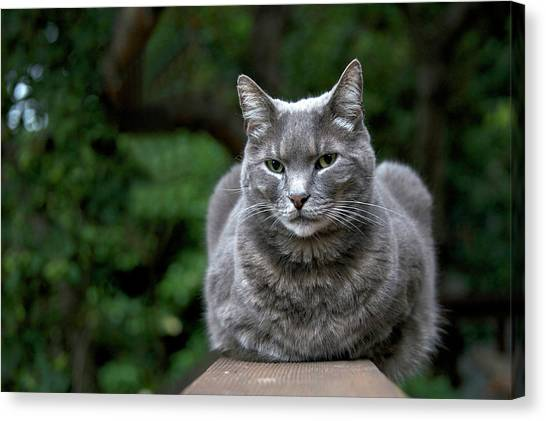 Chartreuxes Canvas Print - Skeptical Grey Cat by Sheila Fitzgerald