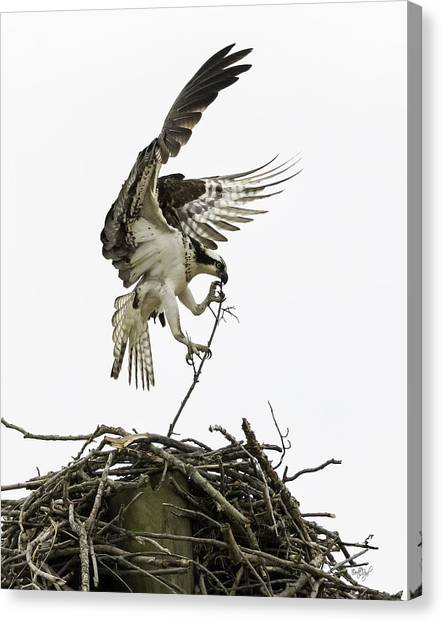 Osprey Canvas Print - Sky Ballet by Everet Regal