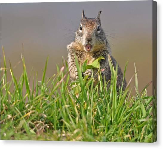 Slack-jawed Squirrel Canvas Print