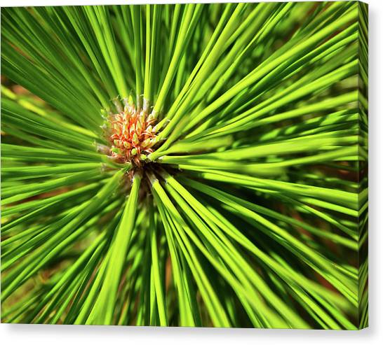 Slash Pine Needles Canvas Print
