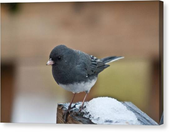 Slate Junco Feeding In Snow Canvas Print