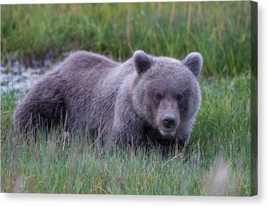 Brown Bears Canvas Print - Sleeping Bear by Ed Boudreau
