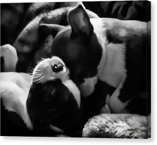 Sleeping Beauties - Boston Terriers Canvas Print
