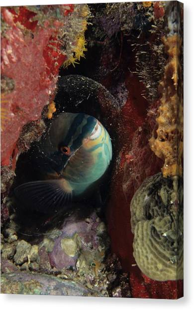 Sleeping Princess Parrotfish In Cocoon Canvas Print