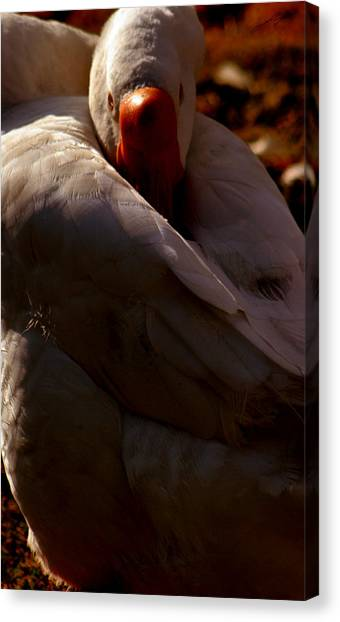 Sleeping Swan Canvas Print by LoungeMode Productions