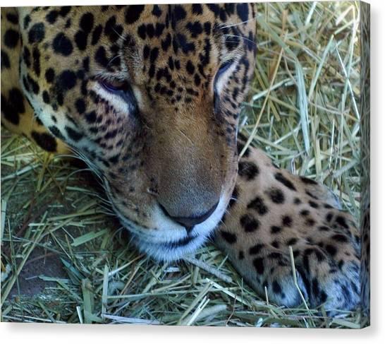 Sleepy Leopard Canvas Print
