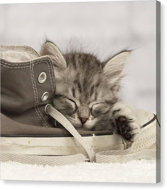 Siberian Cats Canvas Print - Sleepy Siberian Kitten by Jean-Michel Labat
