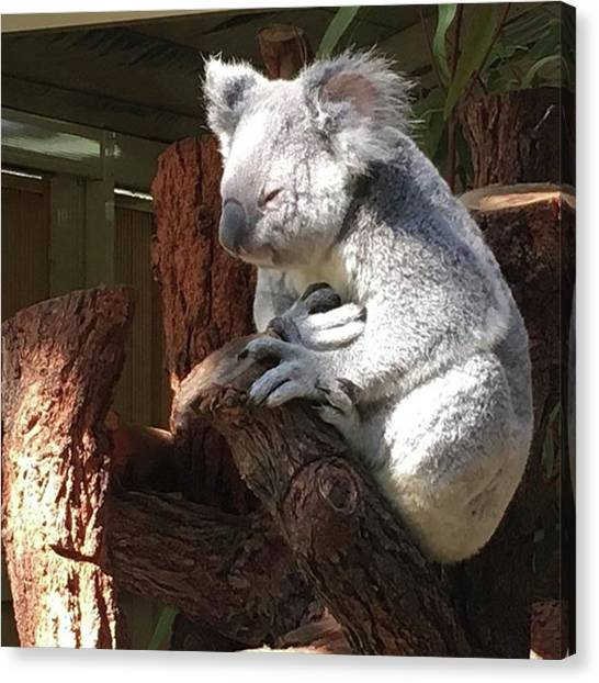 Koala Canvas Print - #sleepyhead #or #wonderingaboutlife by Summer Maeda