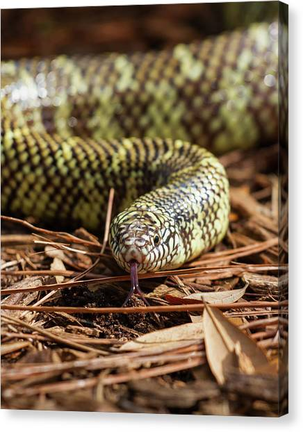 Slither Snake Canvas Print