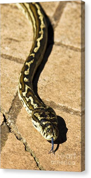 Poisonous Snakes Canvas Print - Slithering Snake by Jorgo Photography - Wall Art Gallery