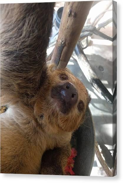 Koala Canvas Print - Sloth by Jackie Russo