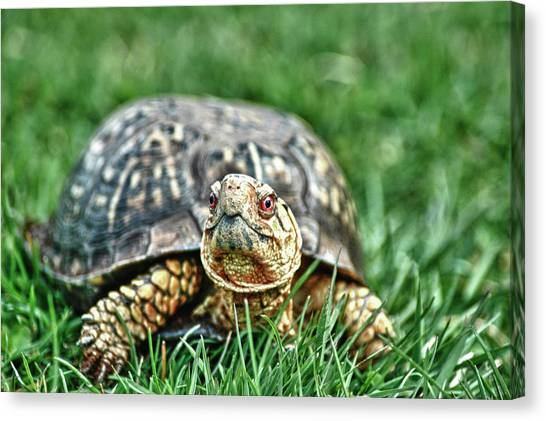 Box Turtles Canvas Print - Slow And Steady by Linda Pulvermacher