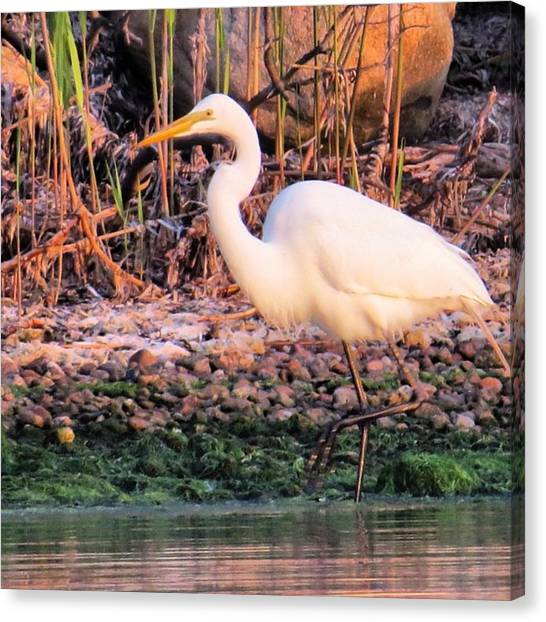 Herons Canvas Print - Slowly Working The Shoreline by John Repoza