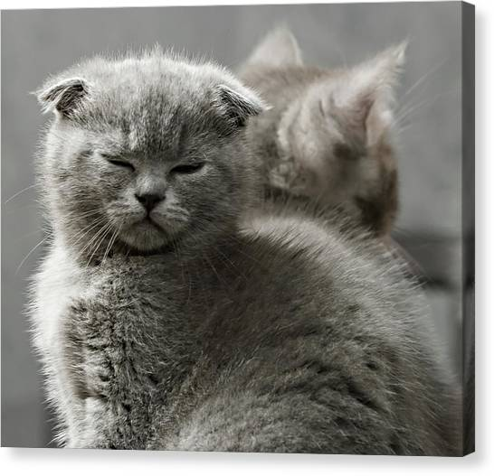 Scottish Folds Canvas Print - Slumbering Cat by Evgeniy Lankin