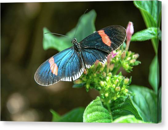 Small Black Postman Butterfly Canvas Print
