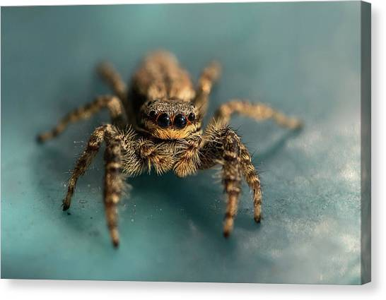 Small Jumping Spider Canvas Print