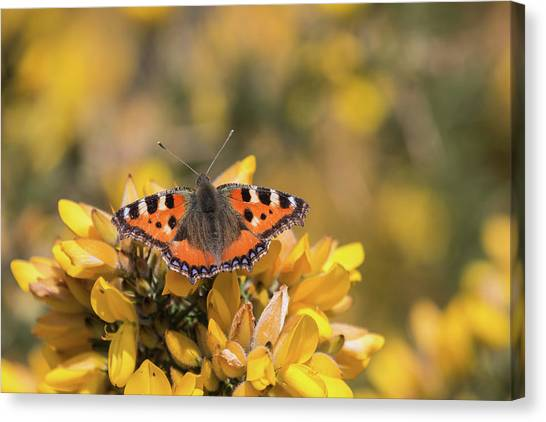 Small Tortoiseshell On Gorse Canvas Print