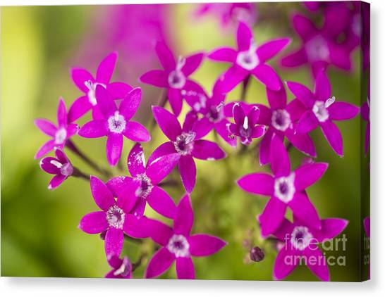 Smell Purple Canvas Print