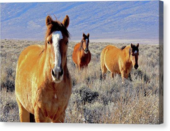 Smile - Mustang Mares Of Eastern Sierra  Canvas Print