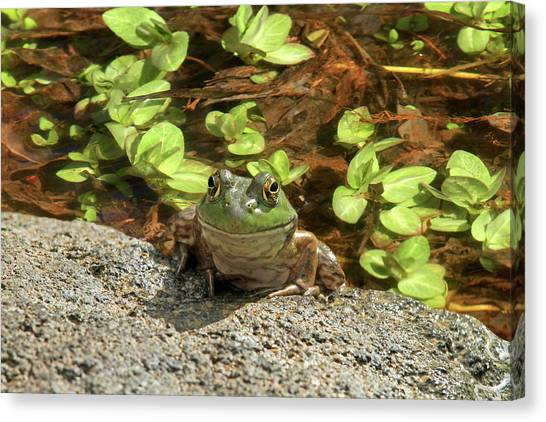 Bullfrogs Canvas Print - Smile For The Camera by Donna Kennedy