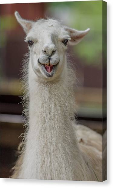 Smiling Alpaca Canvas Print
