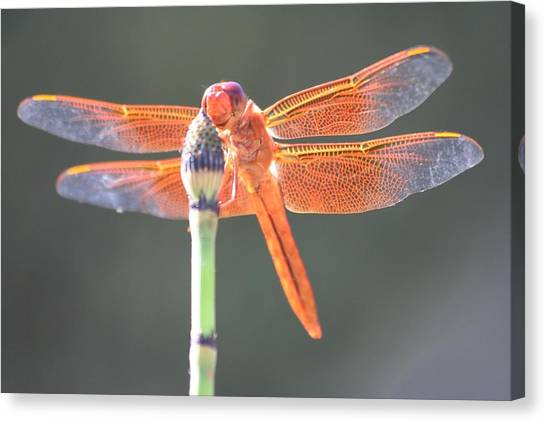 Smiling Dragonfly Canvas Print by Melanie Beasley