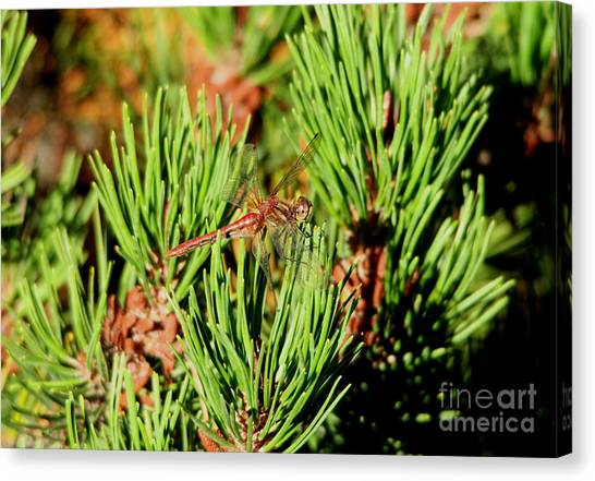 Little Things Canvas Print - Smiling On A Pine Tree by Jeff Swan