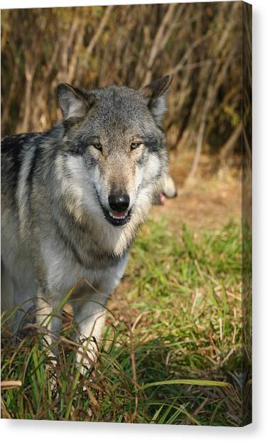 Smiling Wolf Canvas Print
